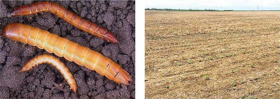Рис. 5. Зліва – несправжні дротяники. Личинки можуть мати різне забарвлення: від світлих тонів до майже чорного. Вони живляться безпосередньо насінням та/або рослиною, проникаючи в стебла, насіння або кореневу шийку (Mark Boetel, NDSU). Справа – втрати No-till посівів соняшнику через пошкодження ґрунтовими шкідниками (NDSU)