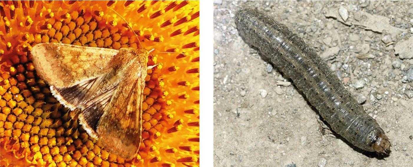 Рис. 8. Зліва – метелик озимої совки (Scotia segetum Shiff.) на соняшнику. Метелики живляться нектаром рослин. Основної шкоди завдають гусені озимої совки (справа), які пошкоджують сходи соняшнику та молоді рослини. Вони можуть повністю перегризати їх