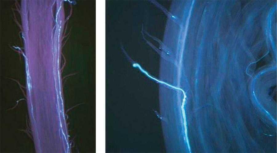 Рис.9. Ріст пилкової трубки вздовж судинного пучка