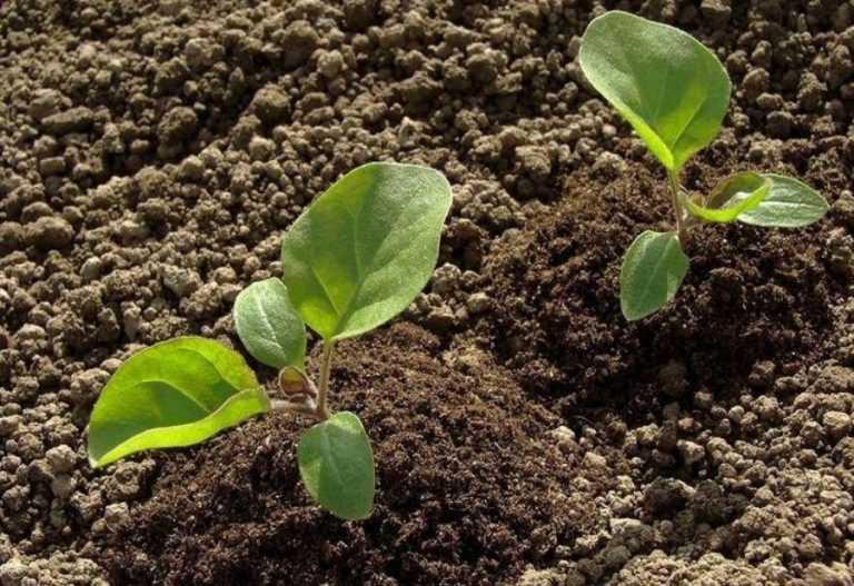 Тепер рослини можуть «попередити» агронома, коли вони хворіють