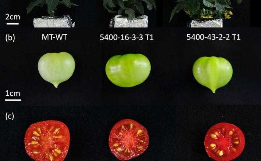 ГМО-томати можуть бути кориснішими за звичайні