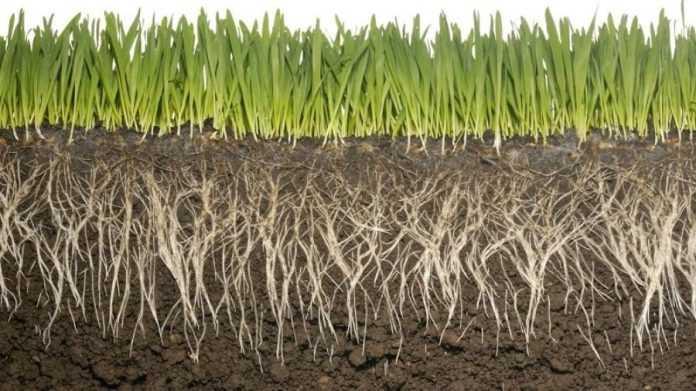 У коренях виявили бактерії, які захищають рослини від інфекції