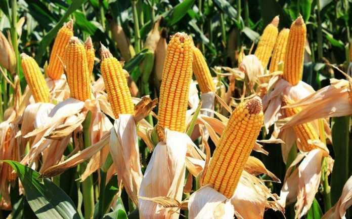 В Україні створено генетичну плазму кукурудзи європейського типу