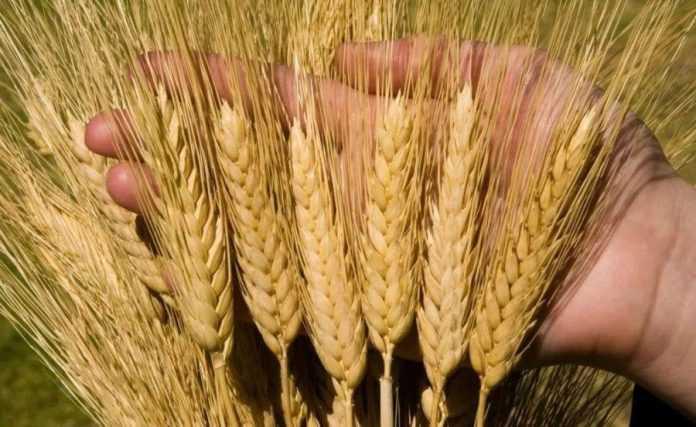 Вчені вивели новий сорт пшениці з високою урожайністю