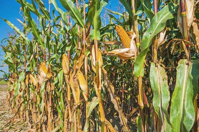 Вплив стресу під час розвитку качана на урожай кукурудзи