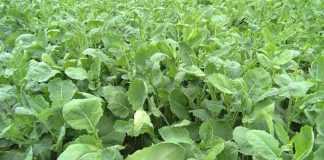 Як «вилікувати» рослини від дефіциту магнію