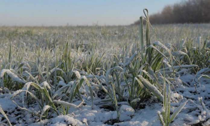 Чи загрожує озимим вимерзання нинішньої зими – прогноз