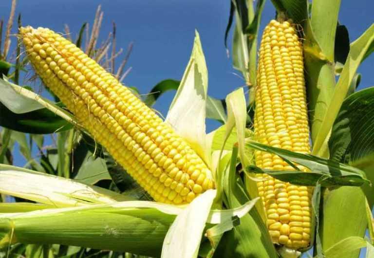 Кукурудза бренду Pioneer® отримала найвищі нагороди на конкурсі врожайності у США