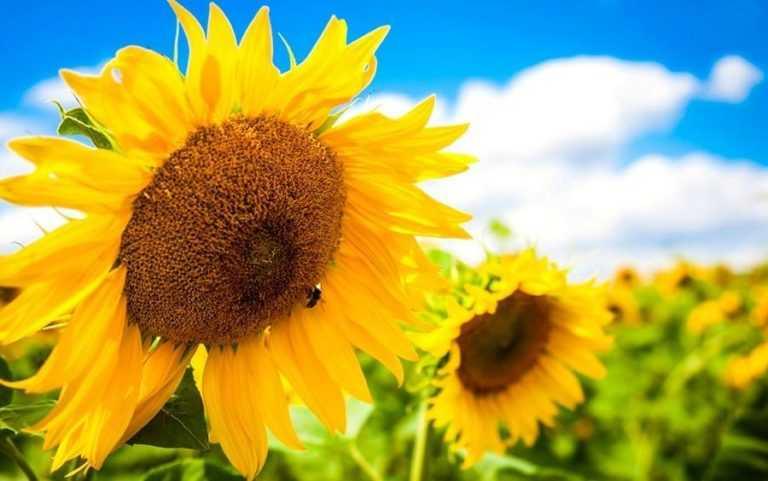 Особливості живлення соняшнику для високої врожайності