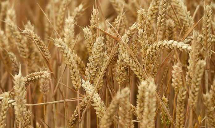 Вчені винайшли агротехнологію отримання 6 врожаїв пшениці на рік