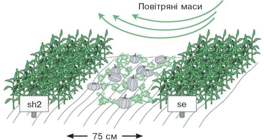 Просторова ізоляція гібридів цукрової кукурудзи (Джерело: Iowa State University Horticulture Guide, 2002)