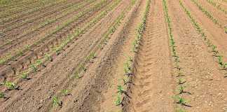 Чи можна збільшити врожайність при диференційованій сівбі