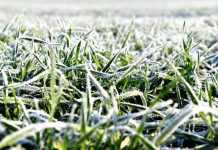 Яка основна небезпека для озимих нинішньої зими