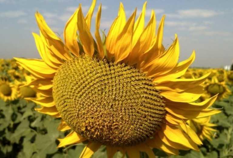 Особливості технології вирощування високоолеїнового соняшнику