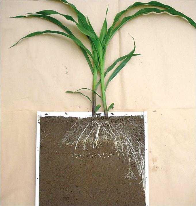 Рис. 1. Наявність гранул добрива в безпосередній близькості до насіння призводить до пригнічення розвитку кореневої системи кукурудзи (Шульц, 2018)
