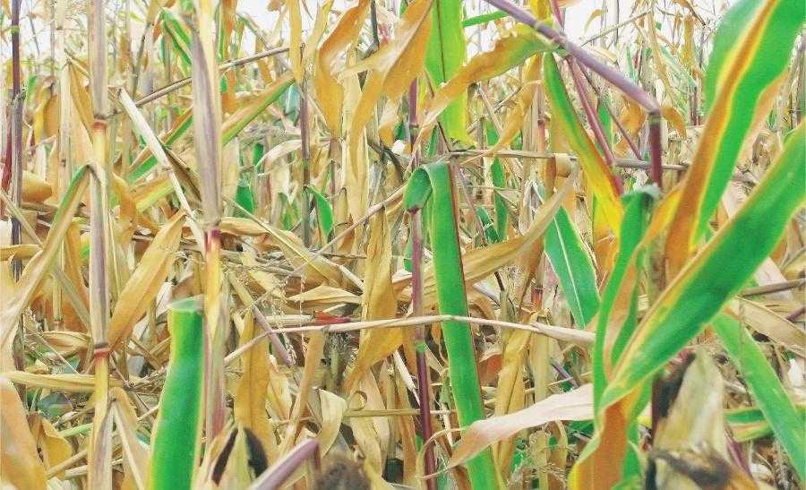 Поле, на якому гусінню стеблового метелика уражено 98% рослин кукурудзи