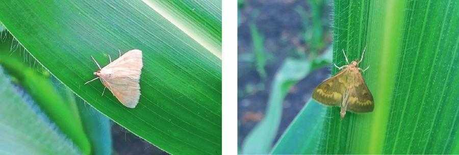 Самиця і самець стеблового метелика