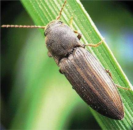 Рис. 3. Ковалик смугастий Agriotis lineatus