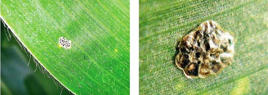 Яйцекладка стеблового метелика, з якої невдовзі вийде гусінь. Чорні цятки – це головні капсули гусені. Яйцекладка стеблового метелика з льотними отворами після виходу трихограми