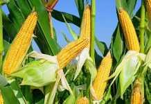Цукрова кукурудза – формуємо смак у полі