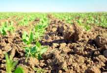 Тонкощі вирощування гороху на схилах