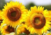 Удосконалюємо технологію захисту соняшнику