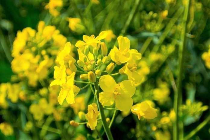 Урожайність рослин зросте, якщо змусити їх цвісти у сприятливий період