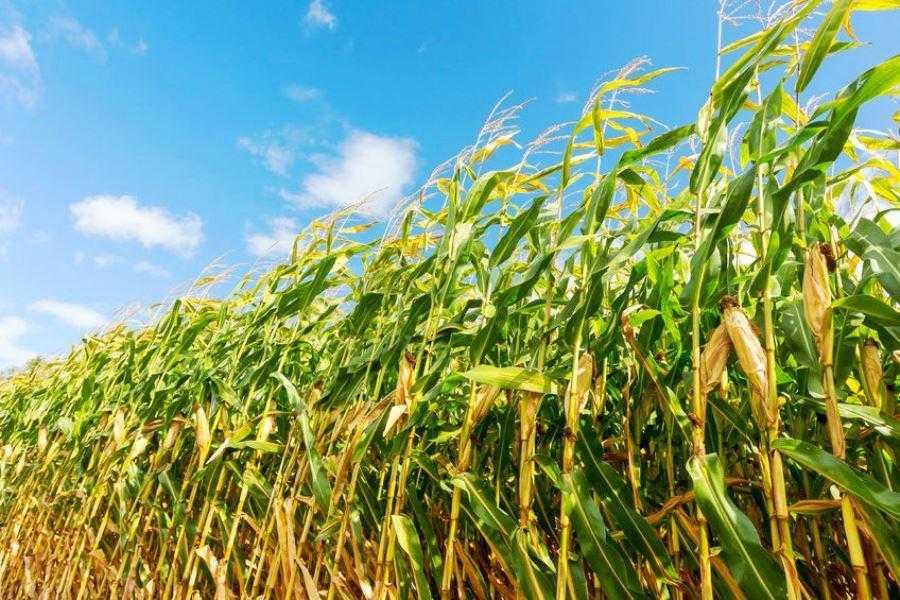 Урожайність кукурудзи