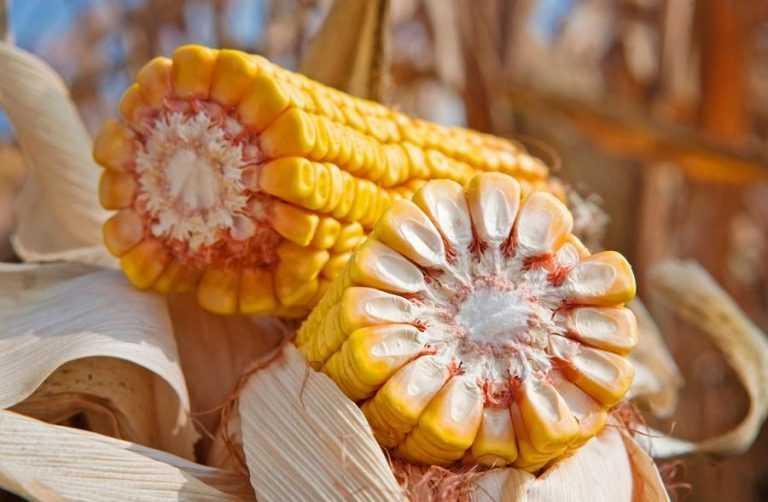 ФАО кукурудзи. Вибір гібридів