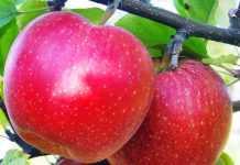 Яблуні від хвороб найкраще захищає фенопрогнозна системи