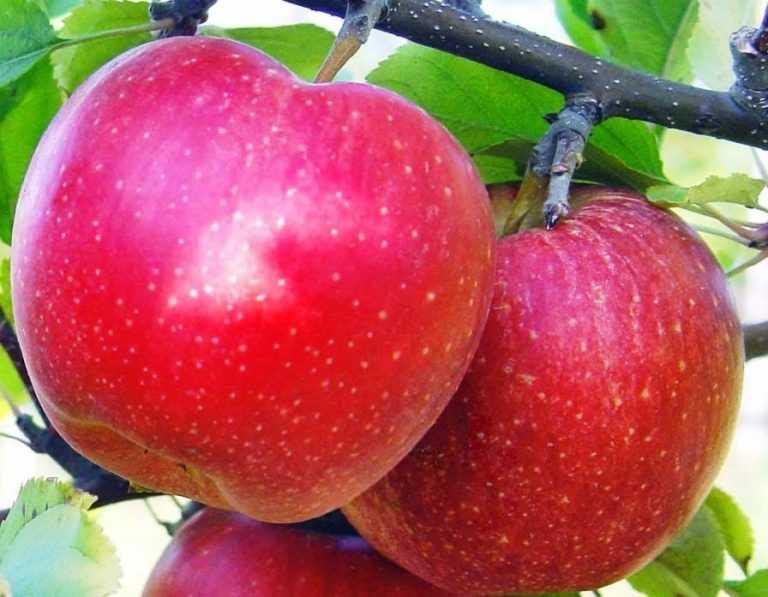 Яблуні від хвороб найкраще захищає фенопрогнозна система