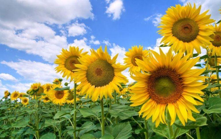 Як вирощувати кукурудзу та соняшник і не виснажувати землю – досвід