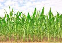 Яке добриво найкраще підходить для кукурудзи