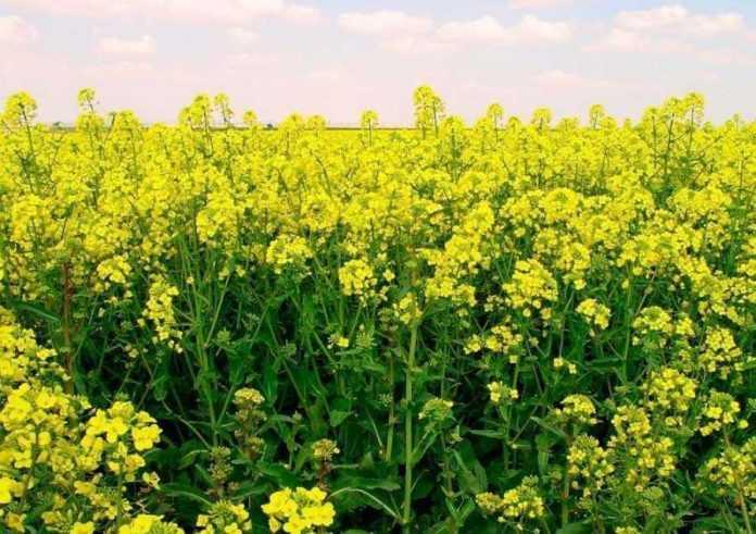 Z-komahamy-shkidnykamy-dopomozhe-borotysya-GMO-ryzhij-