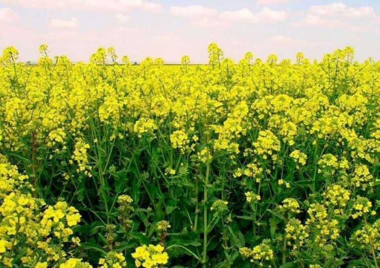 З комахами-шкідниками допоможе боротися ГМО-рижій