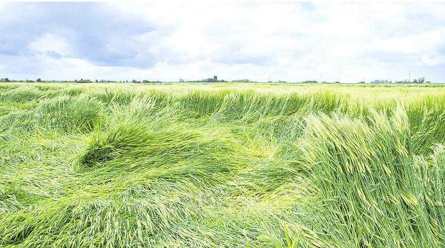 За умови раннього та інтенсивного вилягання посівів може втрачатись до 60% врожаю, а також погіршуватись якість зерна