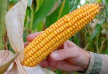 Модифікована кукурудза