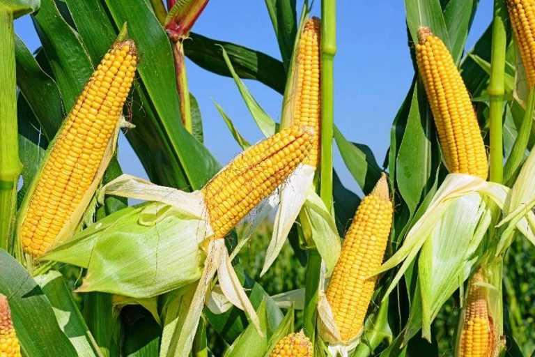 Цукрова кукурудза: формуємо смак у полі