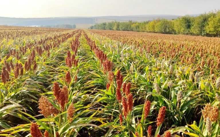 Якою була середня врожайність сорго в Європі у 2020 році