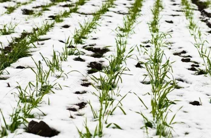 Чи вдалося посівам озимих культур пережити великі морози - вчені