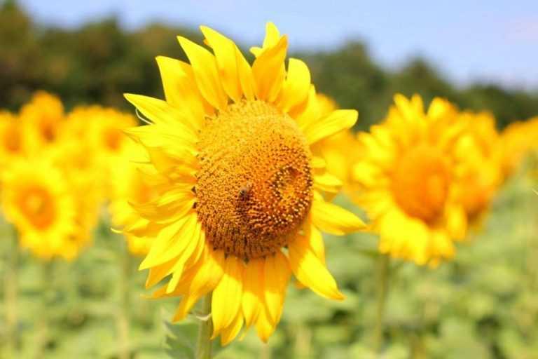 Corteva Agriscience використовує джмелів для запилення батьківських ліній соняшнику