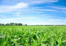 Ефективність технології Strip-till при вирощуванні кукурудзи-1