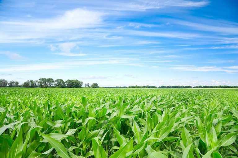 Ефективність технології Strip-till при вирощуванні кукурудзи