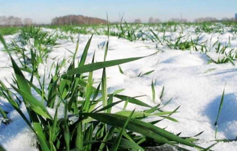 Фітосанітарний стан посівів, садів та насіння на 22 лютого