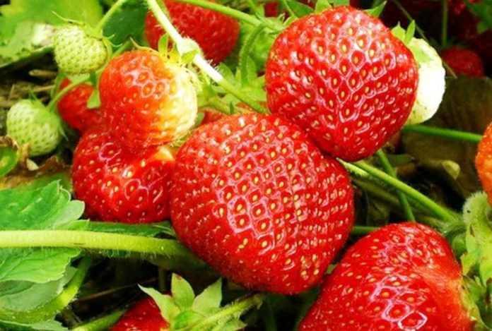 Новий спосіб захисту полуниці знижує застосування пестицидів