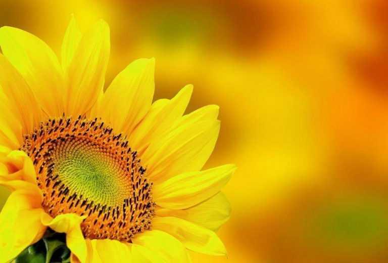 Особливості живлення соняшнику для високого урожаю