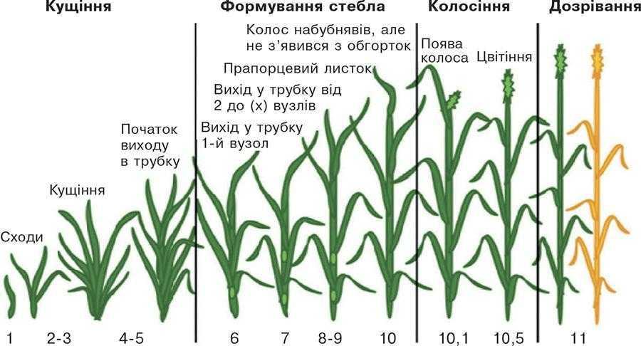 Рис. 1. Стадії росту та розвитку пшениці за шкалою Feekes