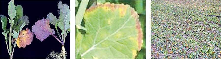 Рис.2. Фосфорне голодування рослин ріпаку озимого рано навесні