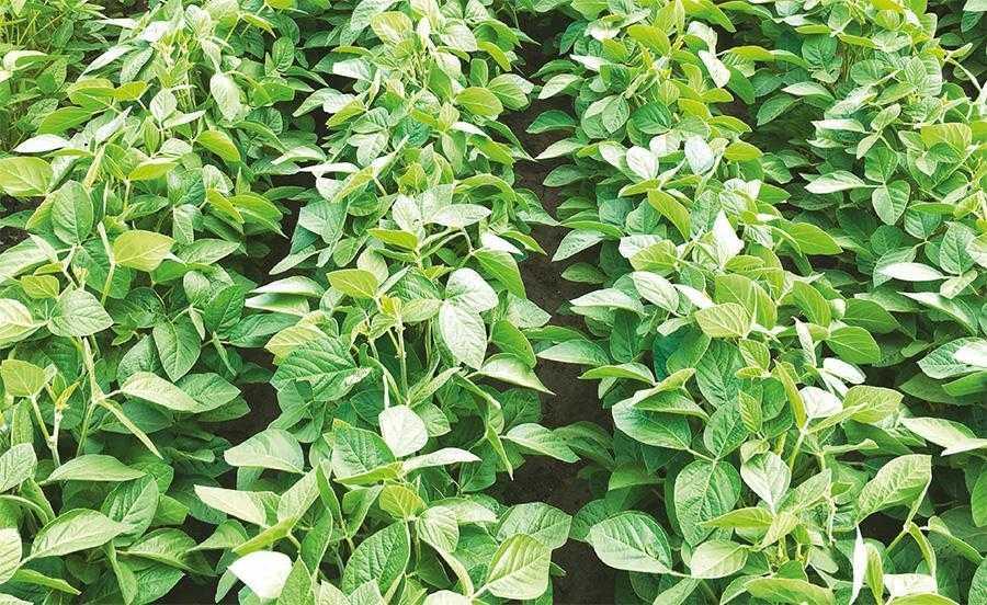Рис. 2. Зовнішній вигляд рослин сої при інокуляції АтуваТМ + Премакс