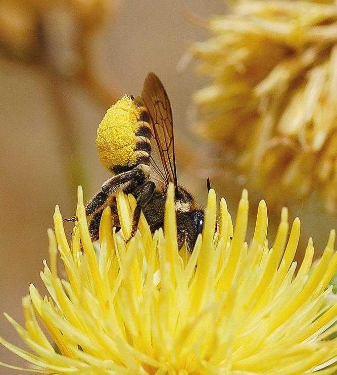Рис.3. Поодинока бджола-листоріз